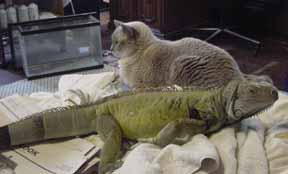 The cat's name is 'Sleeps With Iguanas' and Sweetheart is the iguana